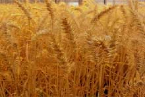 TOKİ işbirliğiyle konut yapılacak arsada hasat bekleniyor