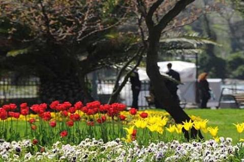 Baharın gelmesiyle laleler Beykoz'a güzellik kattı!